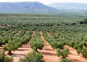 cultivos leñosos frutales olivar